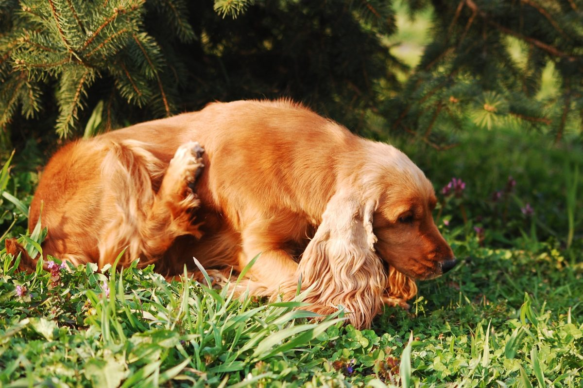 How to Help Your Itchy Pet – Dealing With Environmental Allergies