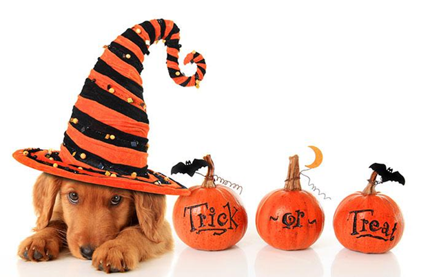 dog with a Halloween hat and pumpkins